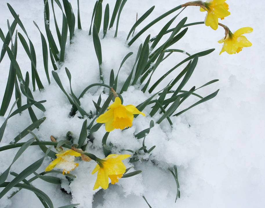 Daffodils Flowers Blooming Snow Flora Bloom