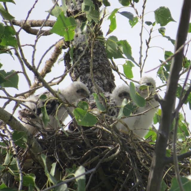 Baby Coopers Hawks