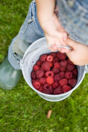picking-raspberries