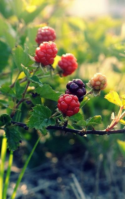 raspberry-bushes